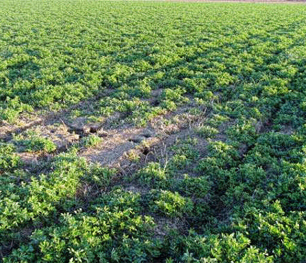 Alfalfa Damage