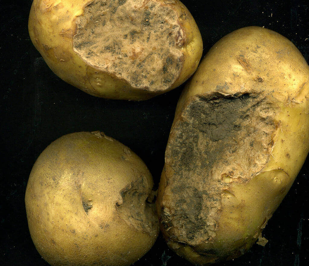 Potato Damage