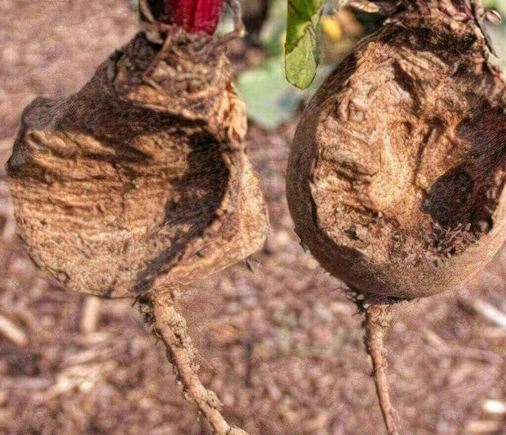 Sugar Beet Damage
